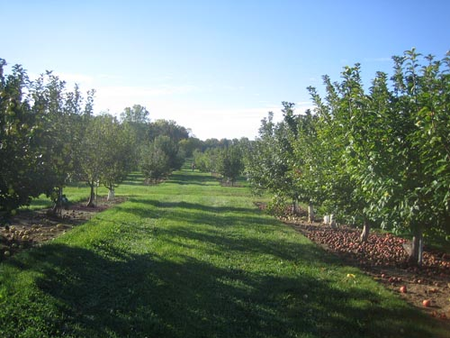 The apple orchard at Geneva (aka the germplasm repository).