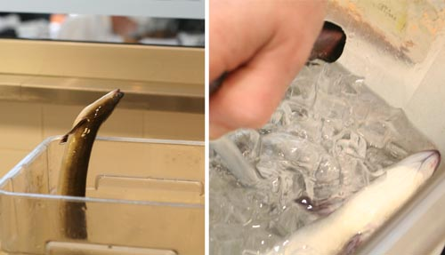 A very lively eel (even in ice water) is quickly knocked-out with CO2