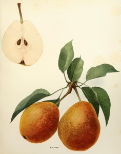 "Kieffer Pear, from U. P. Hedricks Pears of New York.  The Kieffer was the most common pear in America when Hedrick was writing --he loathed it. ""Dire necessity alone compelling their consumption uncooked."""