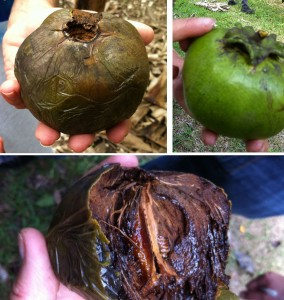 Top right: a black sapote that is ready to pick --the sepals are pulling away from the fruit. Top left: a black sapote ready to eat. Bottom: the inside of a black sapote
