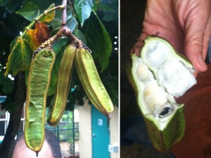 Ice Cream Bean: the sweet part is the fluffy white stuff (the aril) around the seeds. It does taste like cotton candy i