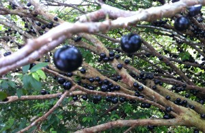 Jaboticaba: a fantastic tropical fruit that grows in a peculiar way.